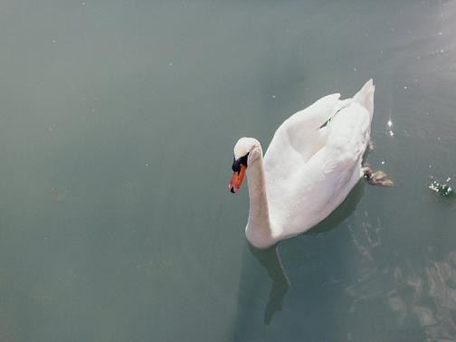 Schwan im See